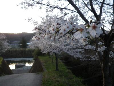 赤木川の桜.jpg