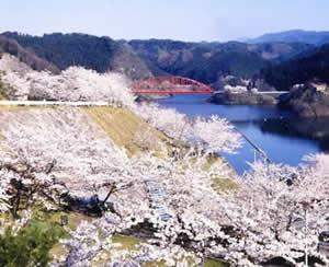 青蓮寺湖の桜