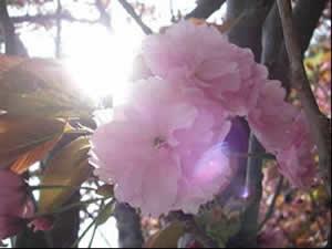 琵琶湖石山寺の桜