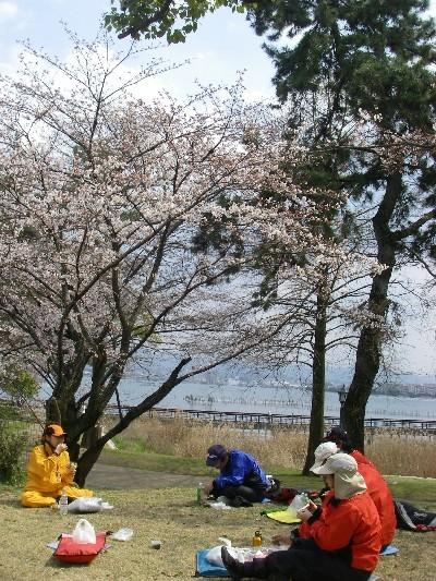 膳所城の桜